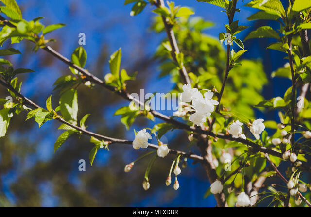 white blossoms on tree in spring with deep blue sky in the background shot at shallow depth of field - Stock Image