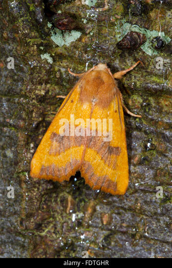 Centre-barred Sallow (Atethmia centrago) adult moth resting on tree bark. Powys, Wales. September. - Stock Image