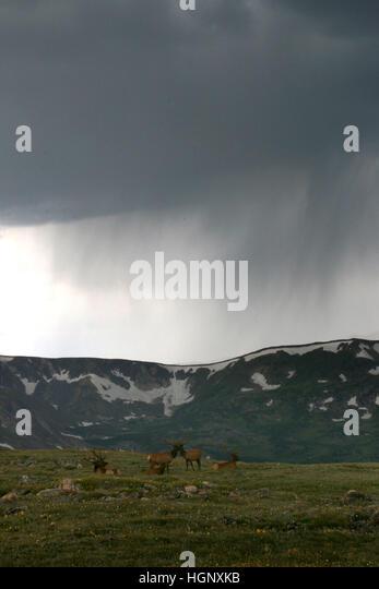 Bull elk in storm on Rocky Mountain National Park ridge Colorado - Stock Image