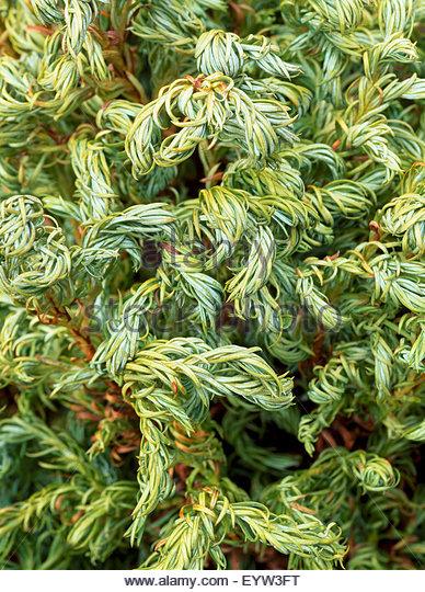 Chamaecyparis pisifera 'Curly Tops' - Stock Image