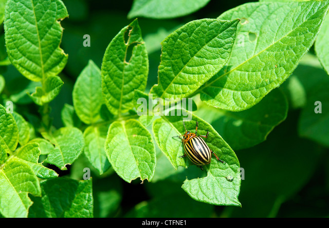 Colorado potato beetle (Leptinotarsa decemlineata) on a potato plant. - Stock Image
