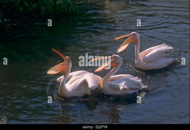Great White Pelican, Eastern White Pelican, Rosy Pelican, White Pelican, Rosapelikan (Pelecanus onocrotalus) - Stock Image