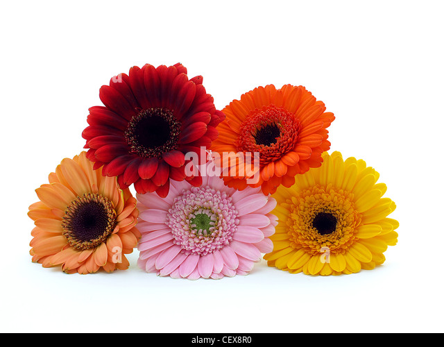 Colorful Gerber flowers - Stock Image