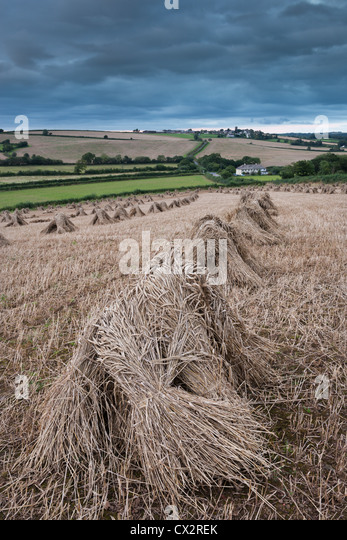 Traditional wheat stooks harvested for thatching, Coldridge, Devon, England. Summer (August) 2012. - Stock Image