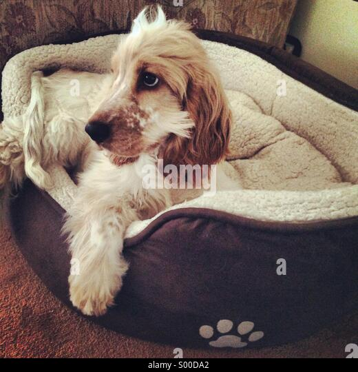 Puppy in his bed - Stock Image