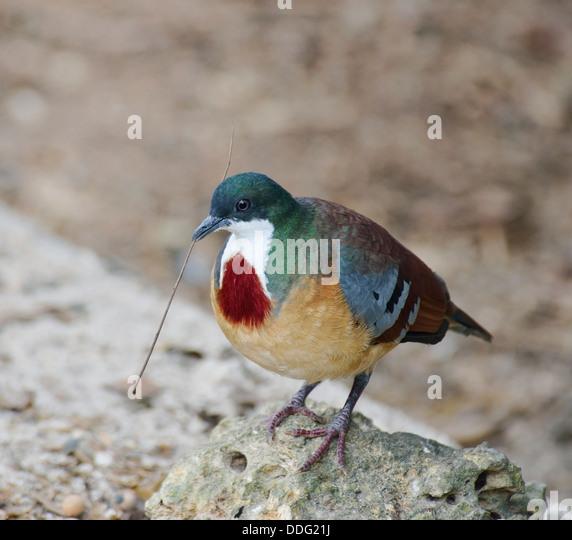 Mindanao Bleeding-Heart Dove Building A Nest - Stock Image