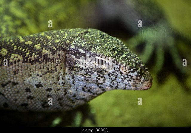 Animals and wildlife from reptils in Africa, Monitor Lizard, - Stock Image