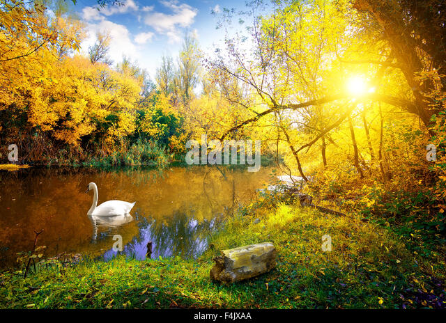 White swan on lake in autumn forest - Stock Image