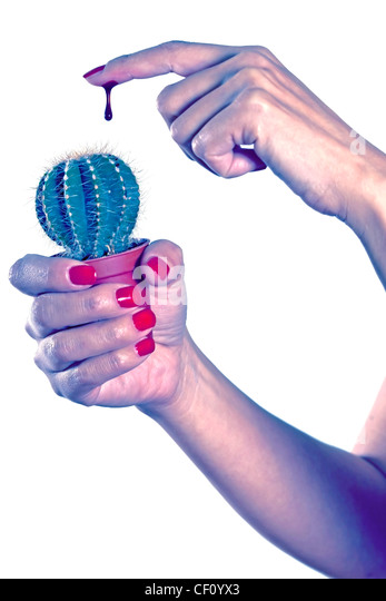 a woman holding a cactus in her hand and has a drop of blood on the index finger - Stock Image