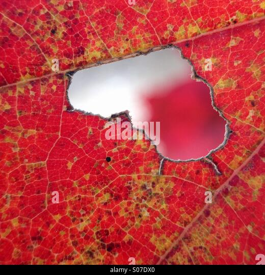 Leaf close up with natural heart shape - Stock Image