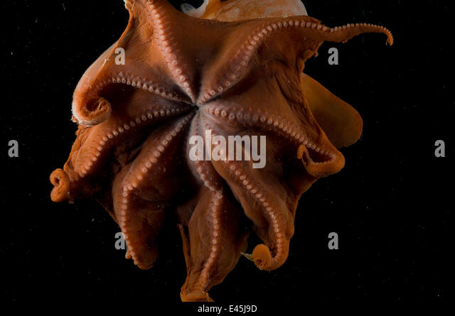 View inside the mantle of the deepsea Octopod {Grimpoteuthis discoveryi} Mid-Atlantic Ridge, North Atlantic Ocean - Stock Image