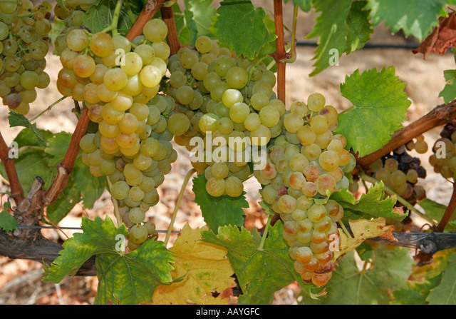 south africa cape town little constantia winery vines - Stock Image