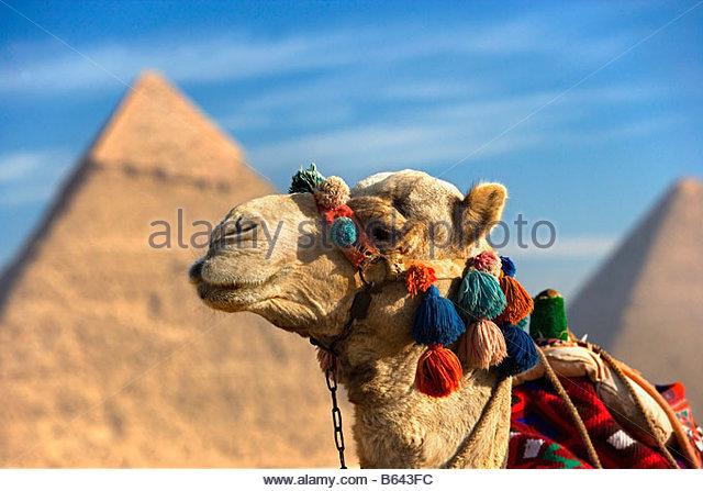 Egypt, Cairo, Pyramids at Giza, Camel - Stock Image