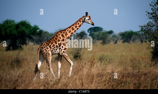 Giraffa camelopardalis. Uganda. Queen Elizabeth National Park.The giraffe walks on savanna. - Stock Image