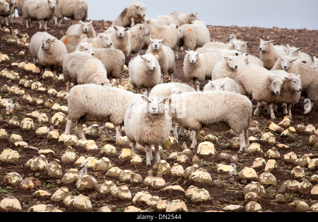 Sheep and Turnip, Ayrshire, Scotland - Stock Image