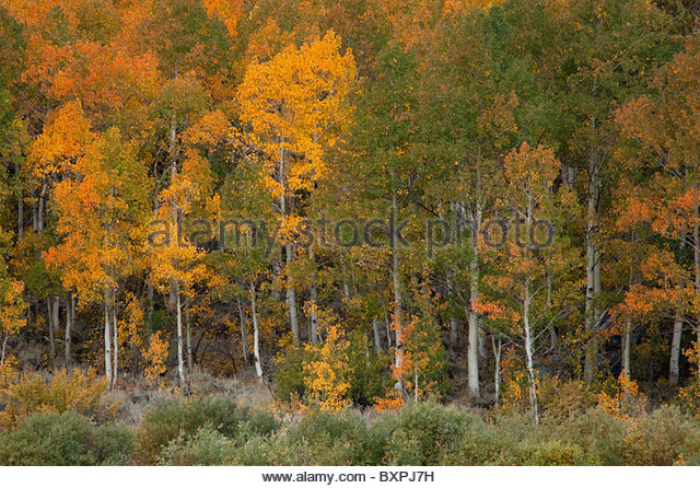 autumn color in Bishop Creek Canyon, CA - Stock-Bilder