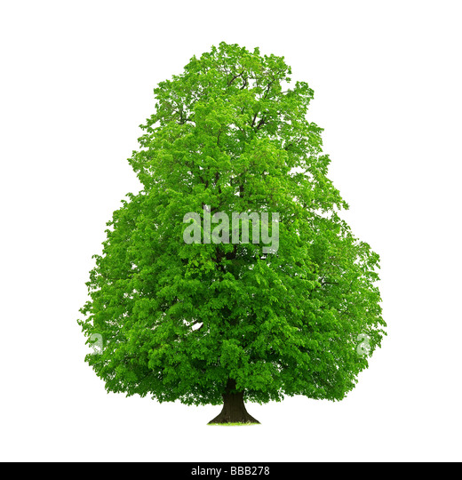 tree isolated on white - Stock Image