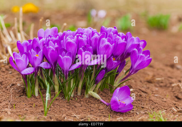 the gallery for gt purple early spring flowers