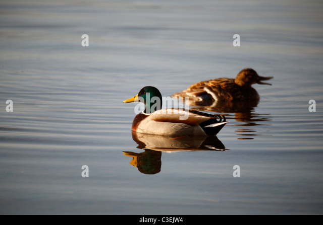 Two Mallard ducks (a male and a female) looking for food on Derwent Water near Keswick in the Lake District of England - Stock Image