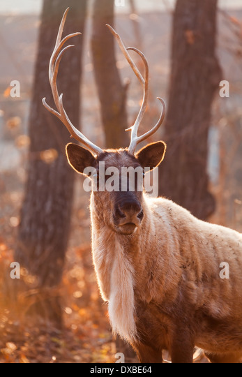 Horned Reindeer at zoo - Stock Image