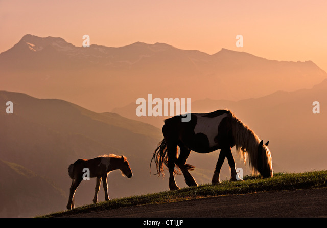 Free roaming horse with foal at sunset on the Col d'Aubisque in the Pyrénées-Atlantiques, Pyrenees, - Stock Image