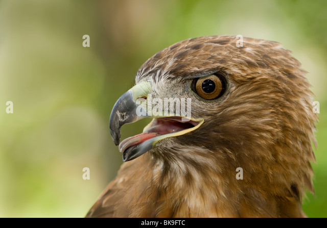 Close-up of a Red-Tailed hawk (Buteo jamaicensis) - Stock-Bilder