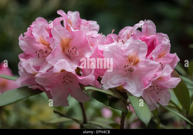 Rhododendron bashful pink rich flowers - Stock Image