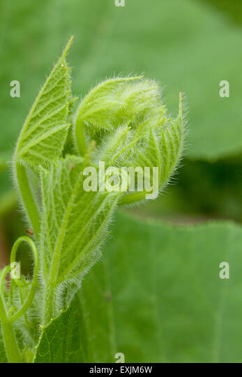 Squash plant new growth - Stock Image