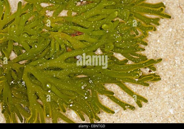 Fragile Green Sponge Finger (Codium spec.), at ebb-tide, Germany - Stock Image
