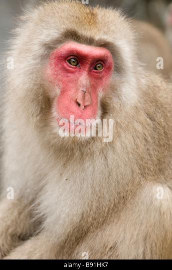 Japanese Macaque snow monkey at Jigokudani Monkey Park Nagano Japan - Stock Image