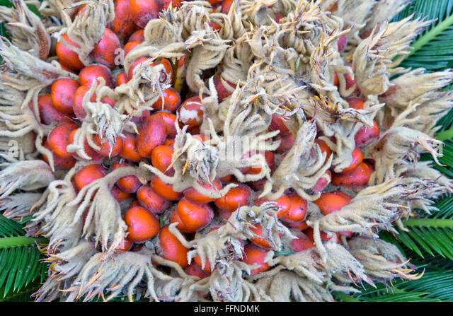 Mature orange seeds on the female Sago Palm,  producing a felt mass  in the center. - Stock Image