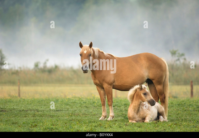 Haflinger horse and foal standing in pasture - Stock Image