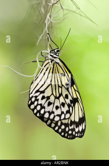 Tree Nymph Butterfly also known as Paper Kite Butterfliy and Rice Paper Butterfly - Stock-Bilder