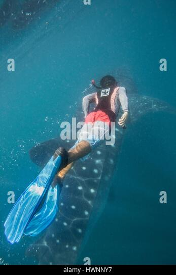 Philippines, Luzon, Sorsogon Province, Donsol, Raul from WWF-Philippines swimming with whale shark (Rhincodon typus) - Stock-Bilder