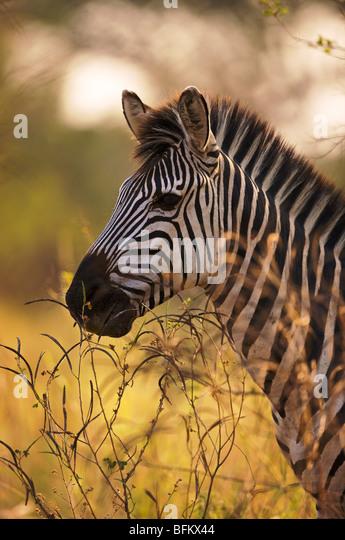 Zebra portrait - Stock Image