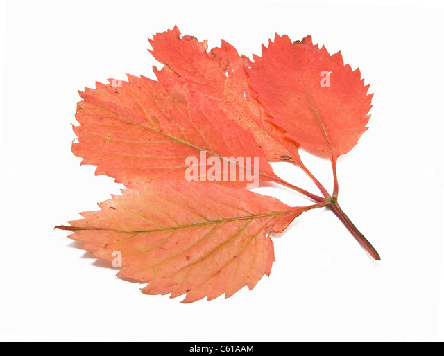 an autumn sheet is isolated on white - Stock-Bilder