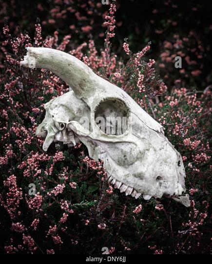 Sheep skull resting amongst heather - Stock Image