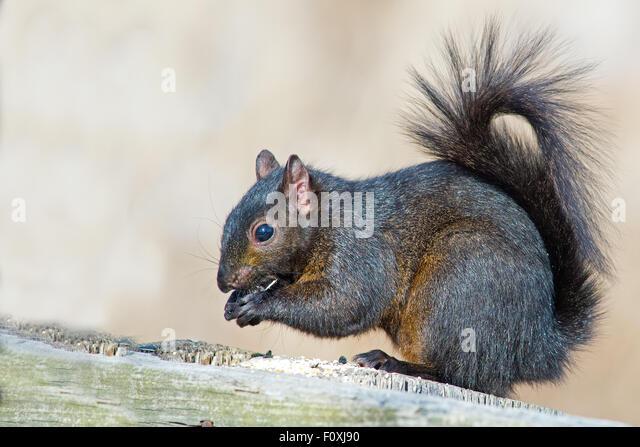 Black Squirrel Squirrel Eating Peanut - Stock Image