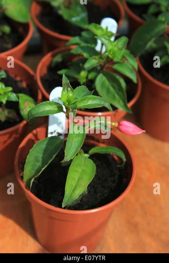 fuchsia pot plants stock photos fuchsia pot plants stock images alamy