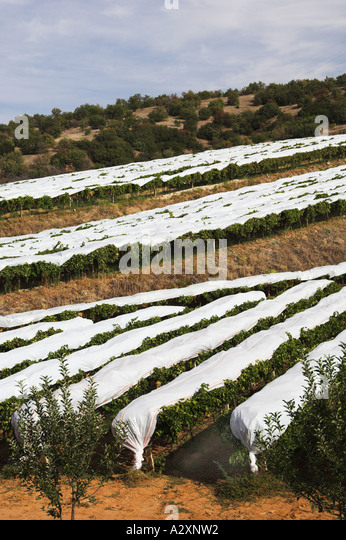 Vineyards covered in protective plastic near Salihili Turkey - Stock Image