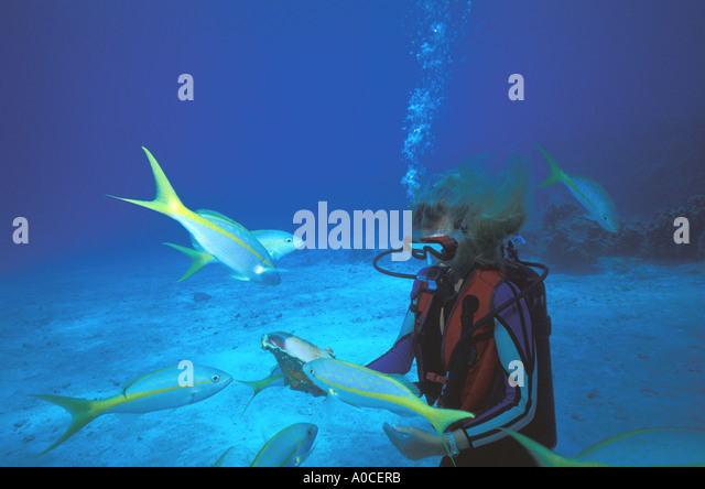 underwater woman yellow tail snapper - Stock Image