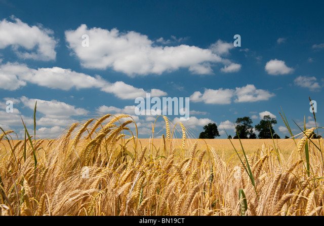 Barley ripening in a field in the English countryside. Oxfordshire, England - Stock Image