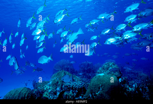 Schooling school fish underwater - Stock Image