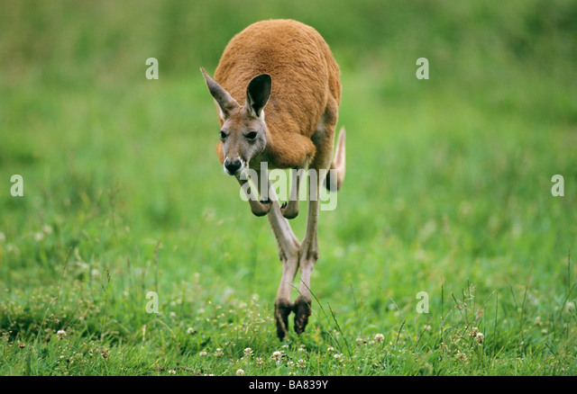 Red Kangaroo - jumping / Macropus rufus - Stock Image