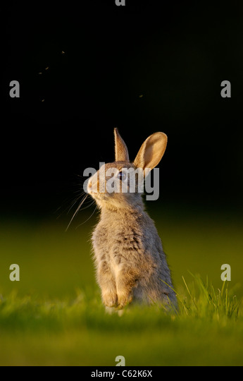 RABBIT Oryctolagus cuniculus  Portrait of a young rabbit or kitten sitting upright with midges flying above Norfolk, - Stock-Bilder