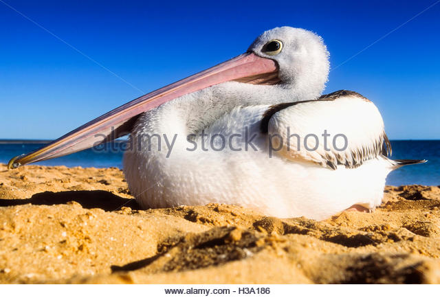 pelican sitting on the beach - Stock Image