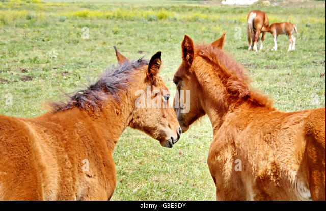 two caring stallion and the horse in the background, feeding a small foal - Stock Image