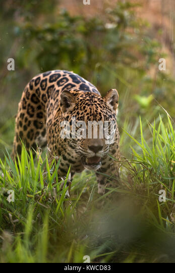 A Jaguar from central Brazil - Stock Image