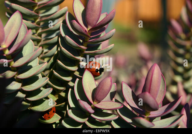 Ladybirds - Stock Image
