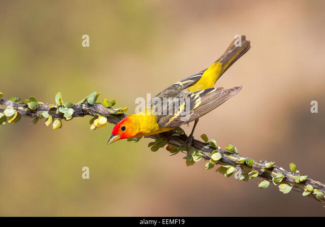 Western Tanager Piranga ludoviciana Santa Rita Mountains, Pima County, Arizona, United States 18 May       Adult - Stock Image